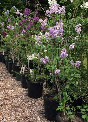 Syringa Plus propagating lilacs